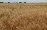 Controlling Summer Volunteer Wheat