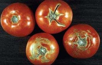 Tomato Talk: Cracking Under Pressure