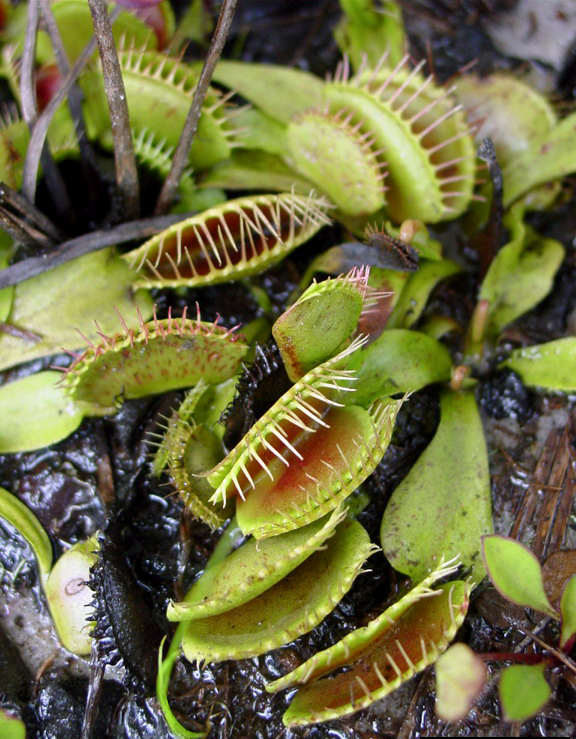 Carnivorous plants are a munch and lunch bunch