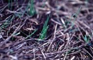 Seeding Wheat