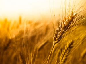 Wheat Scoop:  Kansas Wheat seeks innovative research proposals