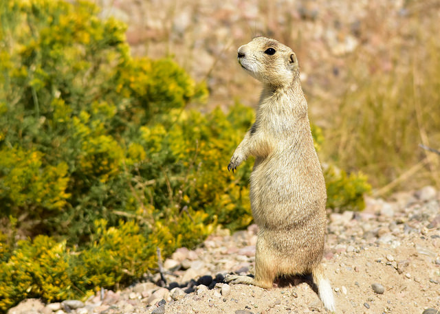U.S. Fish and Wildlife Services Finds Endangered Species Act Protection Not Warranted for White-Tailed Prairie Dogs