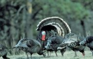 Spring Turkey Permits Available Over-the-counter and Online March 1