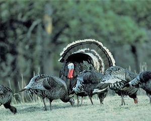 Spring Turkey Special Hunts Application Open