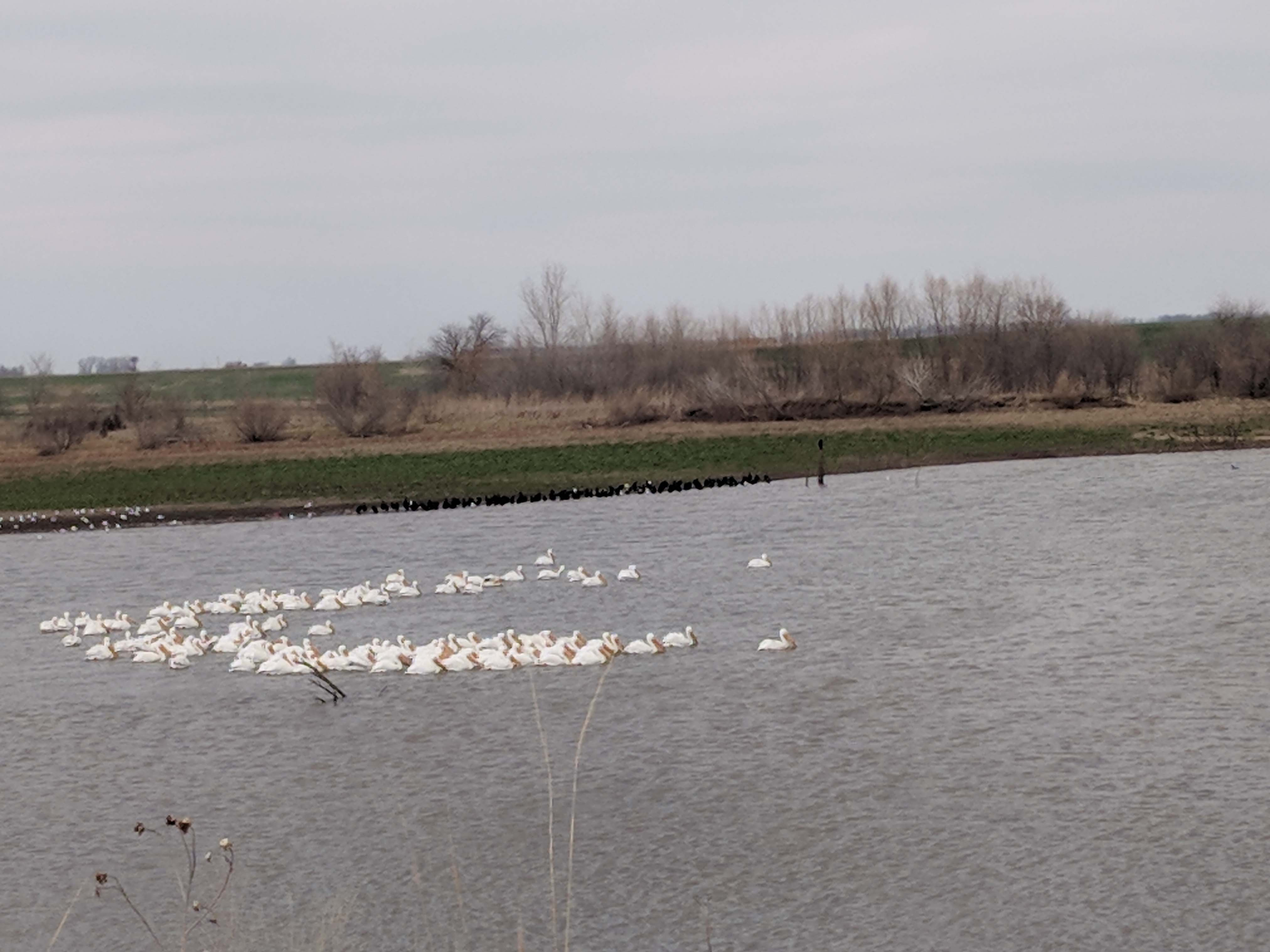 The Pelicans at Curley's Corner