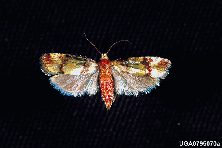 Pine Tip Moth Control