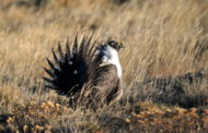 New Funding for Collaborative Conservation Efforts Will Benefit People and Wildlife in Sagebrush Country