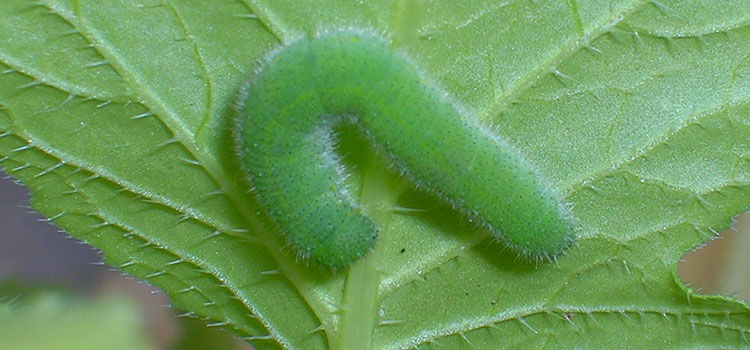 Pests: Cabbage Worms
