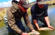 Arctic Grayling Reclaim Historic Spawning Territory For Second Consecutive Year
