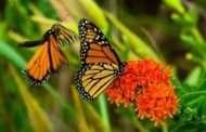 Plan to reverse monarch butterfly decline is in progress