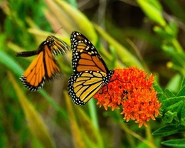 Plan to reverse monarch butterfly decline is in progress