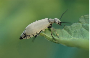 Beware Of the Blister Beetles