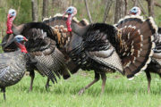 Youth Turkey Hunt Planned in Council Grove
