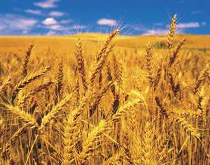 Kansas' Top Agricultural Commodities