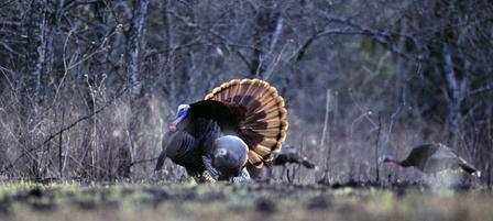 Kansas Turkeys Are Gobbling