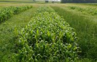 Alfalfa weevil update - Dramatic increase in activity