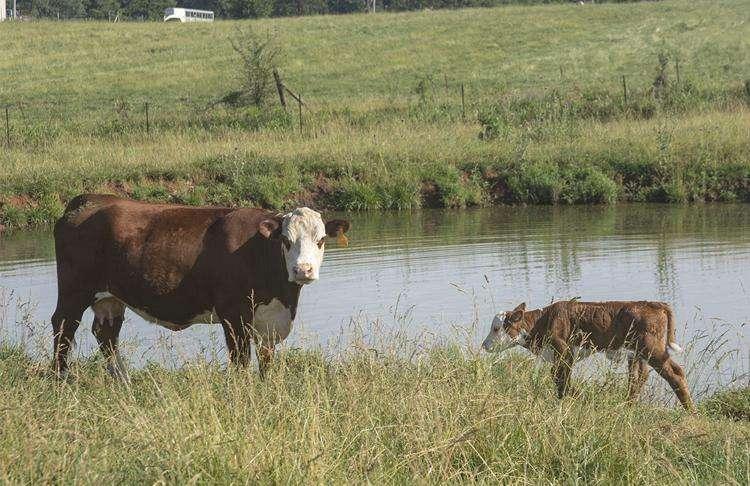 Stillbirths, weak calves abound due to Vitamin A deficiencies
