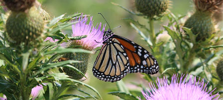 Public Input Needed for Kansas Monarch Conservation Plan
