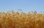 USDA confirms genetically engineered wheat find