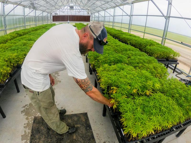 New Crop, Old Problems: Record Rain Hurting Kansas' First Try At Growing Hemp