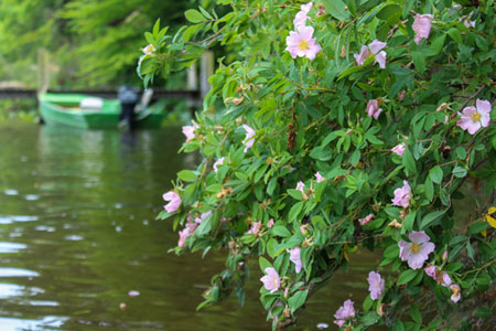 Native Roses and Classic Varieties Are Easy to Maintain